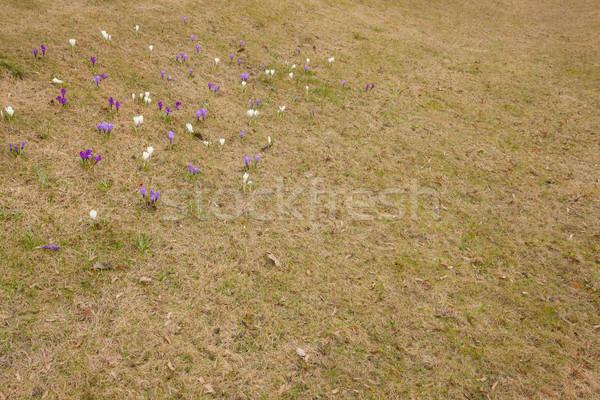 Foto stock: Açafrão · flores · grama · paisagem · jardim