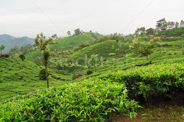 Tea plantations in munnar india Stock photo © Juhku