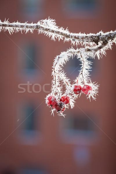 Foto stock: Bayas · invierno · cubierto · nieve · árbol · frutas