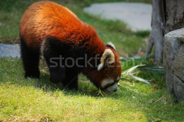 красный Panda трава ходьбе зоопарке портрет Сток-фото © Juhku
