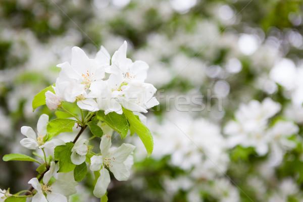 Apple tree flowers in gardern Stock photo © Juhku
