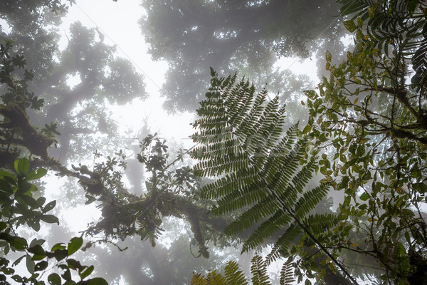Looking up in foggy rainforest Stock photo © Juhku