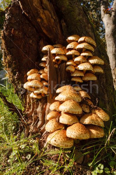 Fungo árvore grupo muitos natureza cair Foto stock © Juhku