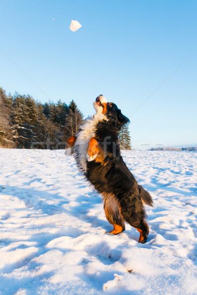 犬 雪玉 日没 山 ストックフォト © Juhku