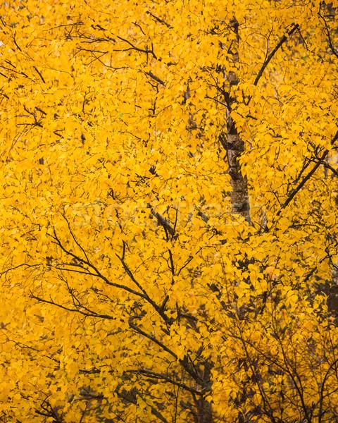 желтый береза листва осень дерево лес Сток-фото © Juhku