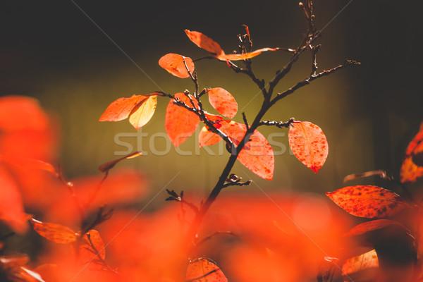 élénk piros levelek bokor őszi természet Stock fotó © Juhku