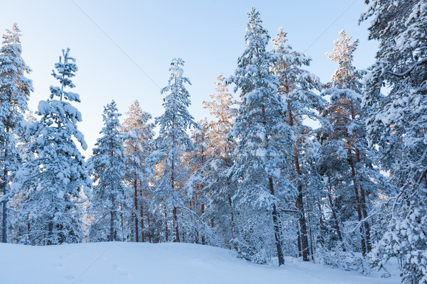 Inverno floresta neve Finlândia noite tempo Foto stock © Juhku