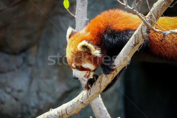 Foto stock: Vermelho · panda · escalada · árvore · jardim · zoológico · natureza