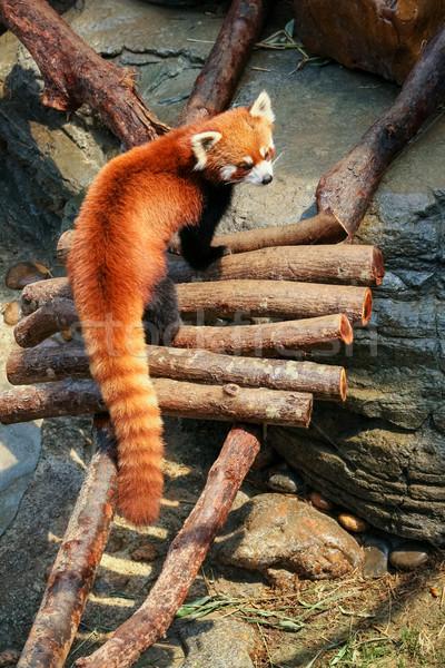 Kırmızı panda hayvanat bahçesi meraklı taş Çin Stok fotoğraf © Juhku