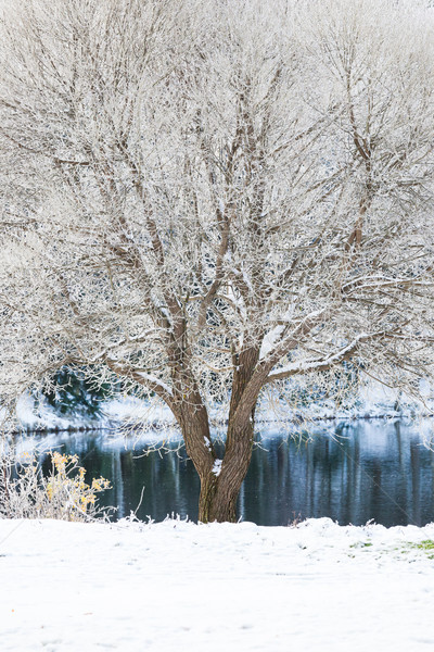 Tree at park covered in snow Stock photo © Juhku