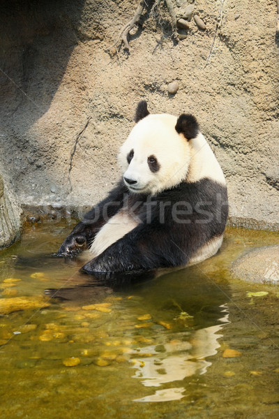 Gigante panda sessão água banho Foto stock © Juhku