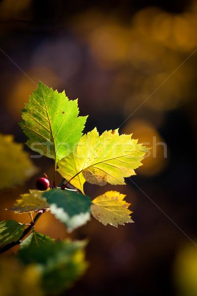 Beautiful colorful autumn leafs  Stock photo © Juhku