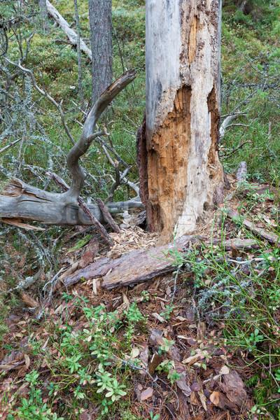 Rotten dead wood tree in forest Stock photo © Juhku