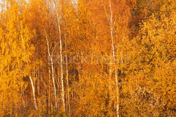 Stok fotoğraf: Ağaçlar · sonbahar · renkler · yeşillik · sarı · manzara