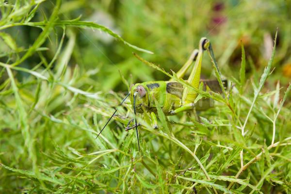 çekirge çalı bahçe çim doğa yaprak Stok fotoğraf © Juhku