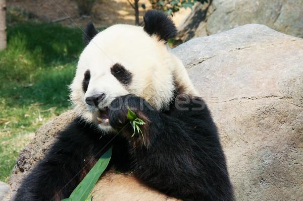 Panda eszik bambusz óriás levelek medve Stock fotó © Juhku