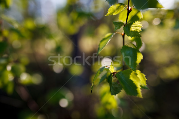 New leaf growing on birch Stock photo © Juhku