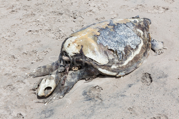 Dead sea turtle Stock photo © Juhku