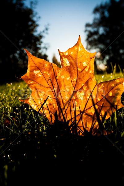 Maple Leaf трава Восход свет утра лес Сток-фото © Juhku