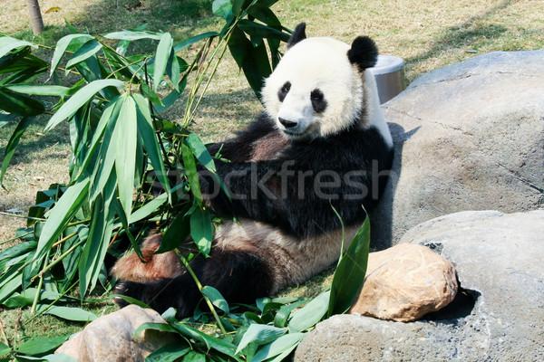 Panda eten bamboe reus bladeren tropische Stockfoto © Juhku