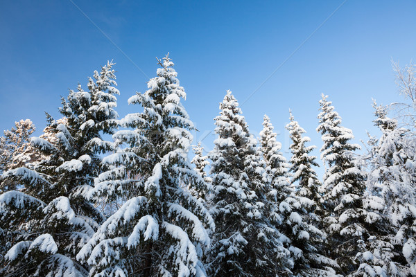 Winter forest spruce tree tops in finland at dusk Stock photo © Juhku