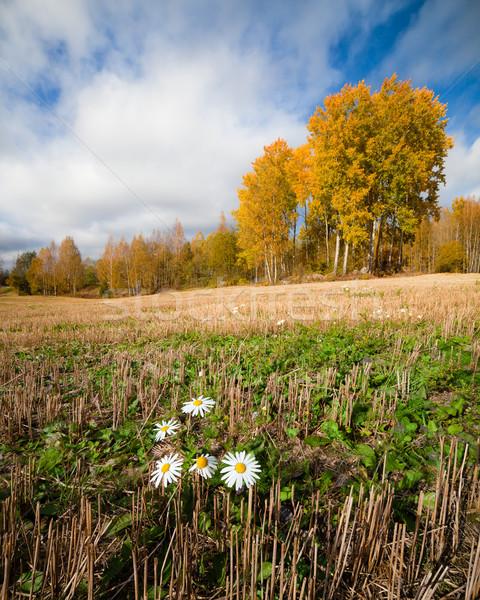 Daisy bloem groeien veld najaar landschap Stockfoto © Juhku