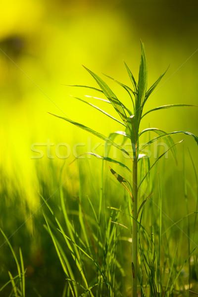 Verde planta creciente hierba naturaleza Foto stock © Juhku