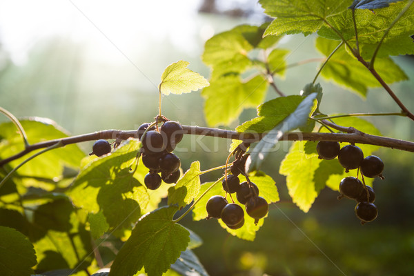 Black currants bush and sunlight Stock photo © Juhku