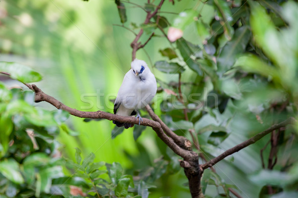 White exotic bird on a branch Stock photo © Juhku