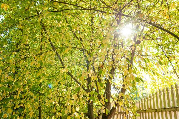 Zonneschijn najaar loof kleur blad bladeren Stockfoto © Juhku