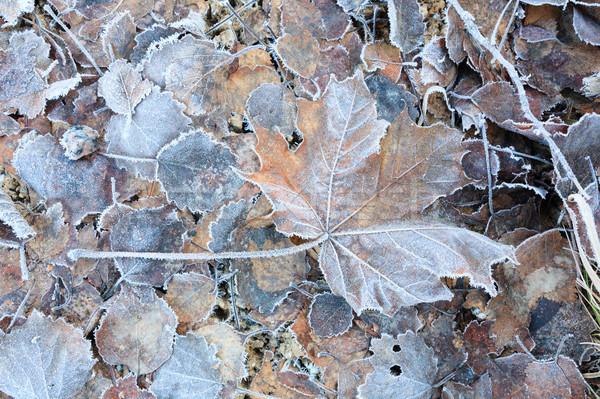 Bevroren bladeren grond bos Stockfoto © Juhku