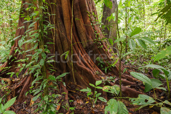 Groot boom diep regenwoud borneo Maleisië Stockfoto © Juhku