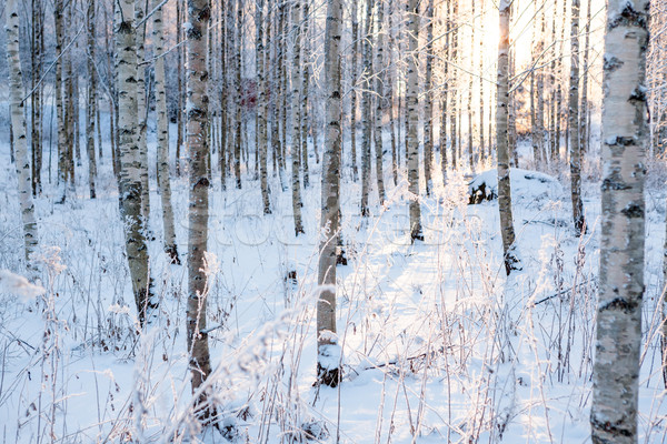 Brzozowy lasu słońce świetle zimą ciepły Zdjęcia stock © Juhku