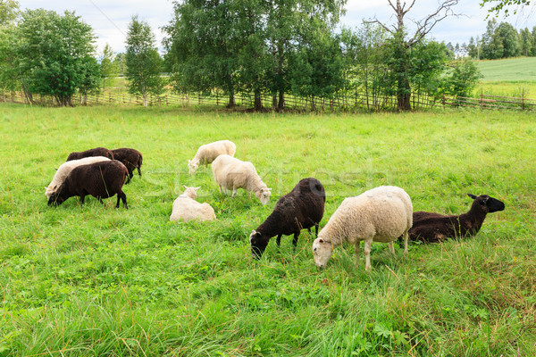 Herd of sheeps in the meadow Stock photo © Juhku