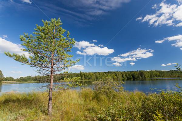 Pequeño pino lago Finlandia verano agua Foto stock © Juhku