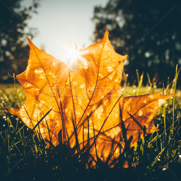 Maple leaf on grass illumited by sunrise light Stock photo © Juhku