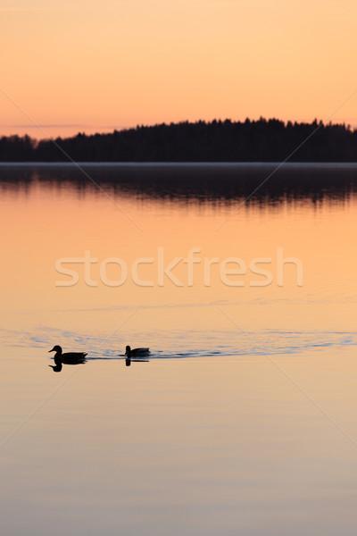 Ducks swimming in lake at sunset time Stock photo © Juhku