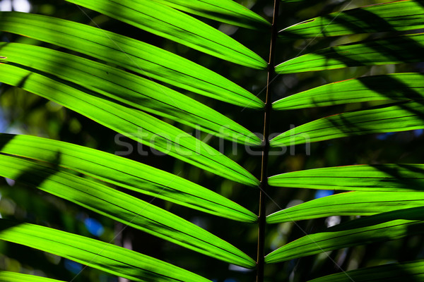 Green backlit leaf in the jungle Stock photo © Juhku