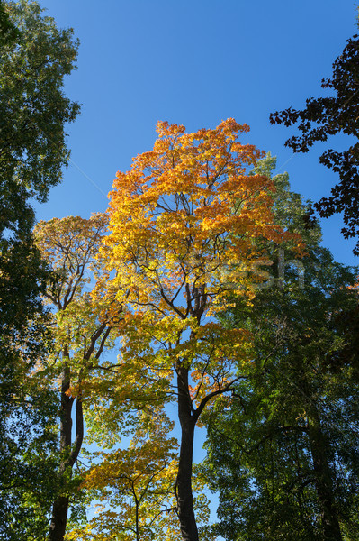 Najaar kleur esdoorn loof blauwe hemel hemel Stockfoto © Juhku
