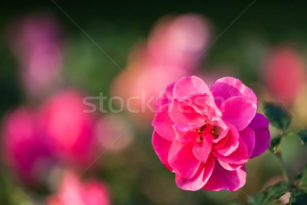 ピンクのバラ 露 値下がり 花壇 美 夏 ストックフォト © Juhku