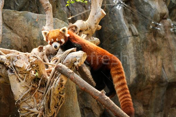 Kırmızı panda tırmanma ağaç hayvanat bahçesi doğa Stok fotoğraf © Juhku