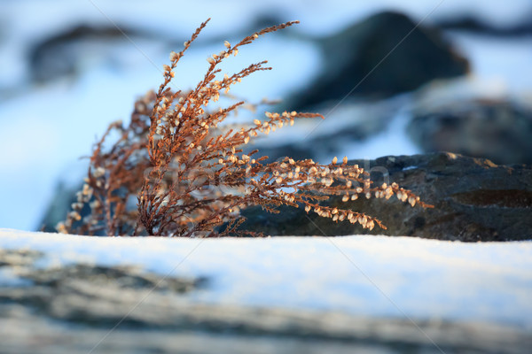 Wild heather at winter Stock photo © Juhku