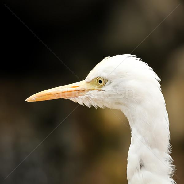 скота портрет белый природы птица голову Сток-фото © Juhku
