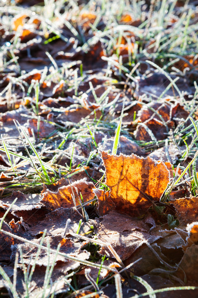 Frost birch leaves on ground Stock photo © Juhku