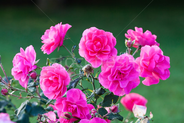 Pink roses and dew drops Stock photo © Juhku