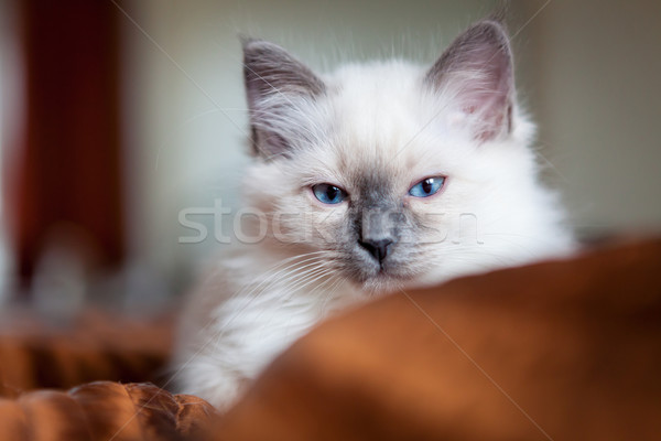 Stock photo: Sacred birman kitty
