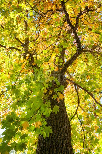 Sol otono follaje color árbol verde Foto stock © Juhku