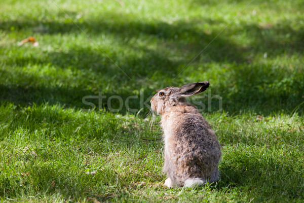 City rabbit sitting in grass Stock photo © Juhku