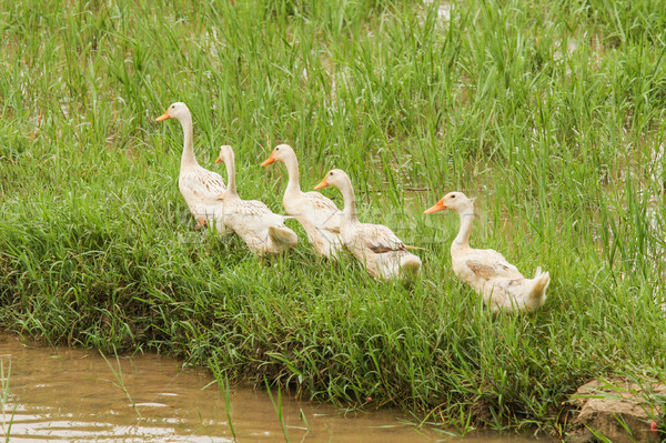 Ducks walking in grass Stock photo © Juhku