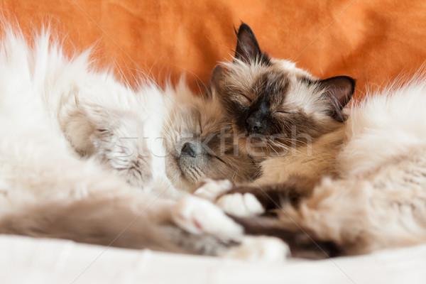 Due sacro gatti dormire famiglia faccia Foto d'archivio © Juhku